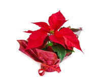 Christmas symbol beautiful red poinsettia flower on white. Stock Photo