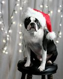 Christmas Terrier. A Boston Terrier in a Santa hat sitting on a stool in front of lit Christmas lights Royalty Free Stock Photography