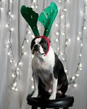 Christmas Terrier. A Boston Terrier wearing a reindeer antlers headband sitting on a stool in front of lit Christmas lights Royalty Free Stock Images