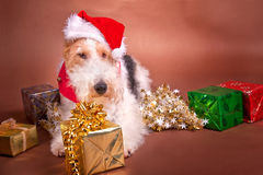 Christmas Terrier Stock Photos