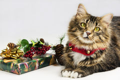 Christmas Time Cat and Jingle Bells Stock Image