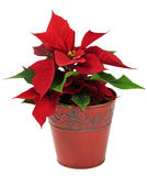 Christmas traditional flower Stock Images