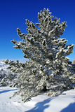 Christmas tree. Spruce trees covered by snow in beautiful winter landscape Royalty Free Stock Photos