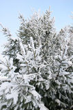 Christmas tree. Fir on cold frosty winter day Royalty Free Stock Photo