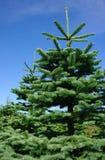 Christmas Tree. A lush Washington State forest full of undecorated Christmas like pine trees Stock Photos