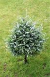 Christmas tree. A green tree, like a Christmas tree Royalty Free Stock Photo