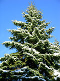 Christmas Tree. Pine tree, with snow, against a cold winter sky stock photography