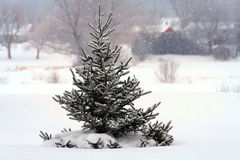 Christmas tree. Pine tree full of snow in a wintry, pastoral landscape royalty free stock image