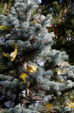 Christmas-tree in autumn. Fir-tree is ready to be a Christmas-tree Royalty Free Stock Photos