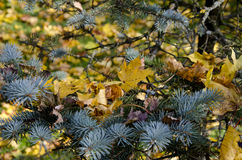 Christmas-tree in autumn. Royalty Free Stock Photo