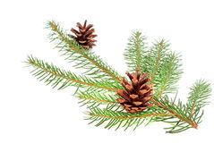 Christmas tree bough with cone. On a white background Stock Photos