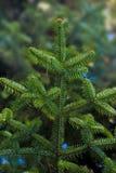 Christmas tree branch. Vibrant evergreen christmas tree branch stock image