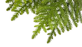 Christmas Tree Branch Background Royalty Free Stock Photos