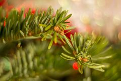Christmas tree branch with buds stock photo