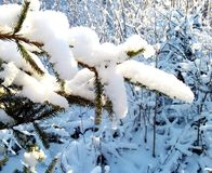 Christmas tree branch covered with snow Royalty Free Stock Photo