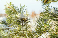 Christmas tree branch and pine cone in snow Royalty Free Stock Photo