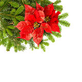 Christmas tree branch with red poinsettia flower Stock Photos