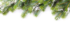 Christmas tree branch with snow Royalty Free Stock Photo