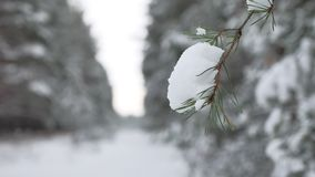 Christmas tree branch in snow winter nature forest beautiful landscape, blurred background. Christmas tree branch in snow winter nature forest beautiful stock footage