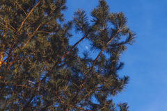 Christmas tree branches. Against the blue sky and the moon Royalty Free Stock Photography
