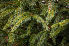 Christmas Tree Branches. Close up clearly showing the green evergreen needles. Ideal background texture image Royalty Free Stock Photo