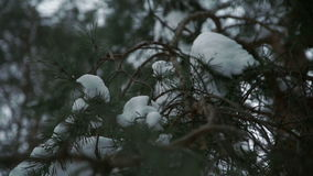 Christmas tree branches covered with snow. Close up stock footage
