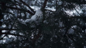 Christmas tree branches are covered with white snow. In the forest stock footage