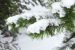 Christmas tree branches nestled in snow . stock photos