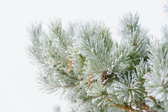 Christmas tree branches. With pine cones Royalty Free Stock Images