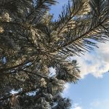 Christmas tree branches on the sky stock photo
