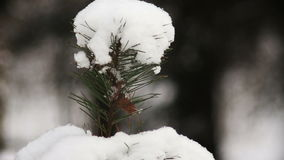 Christmas tree branches with snow. Close-up shot of christmas tree branches with snow stock video footage
