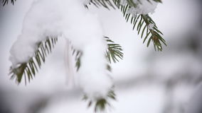 Christmas tree branches with snow. Close-up shot of christmas tree branches with snow stock video