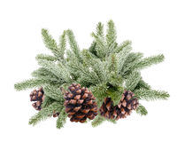 Christmas Tree Branches with snow and pine cones isolated. On white Royalty Free Stock Images