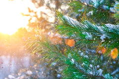 Christmas tree branches at the sun rays, covered with snow in the forest. Picturesque winter landscape at sunset. Stock Photos