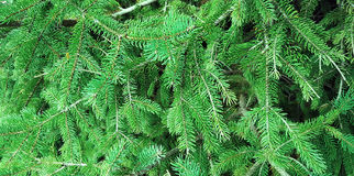Christmas tree branches texture Royalty Free Stock Photography