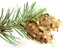 Christmas tree brunch with pine cone Royalty Free Stock Photography