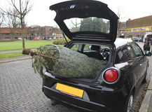 Christmas tree in car. Big christmas tree is stick outside the boot of a car stock images