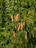 Christmas Tree Cones Royalty Free Stock Photography