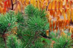 green decorative christmas tree with cones on the background of yellow autumn leaves in the forest. royalty free stock photography