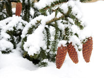 Christmas tree cones covered with snow Royalty Free Stock Image