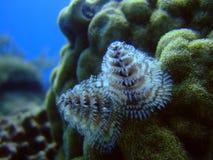 Christmas Tree Coral. Photo taken under water at Cozumel of a Christmas Tree Coral Royalty Free Stock Photos