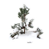 Christmas tree covered with snow Royalty Free Stock Photos