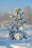 Christmas Tree covered with snow Royalty Free Stock Photography