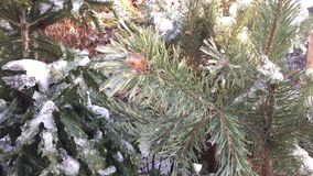 Christmas tree covered with snow. Christmas trees awaiting a feast stock video footage