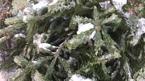 Christmas tree covered with snow. Christmas trees awaiting a feast stock footage