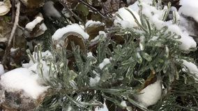 Christmas tree covered with snow. Christmas trees awaiting a feast stock video
