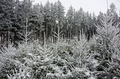 Christmas tree cultivation snowy forest Stock Photography