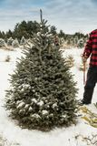Christmas tree cutting - Man with hand saw Royalty Free Stock Image