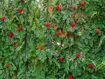 Christmas tree, Düsseldorf Stock Image