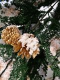 Christmas tree decoration ,Closeup pinecone cover with snow. With blur boken xmas tree background Stock Images